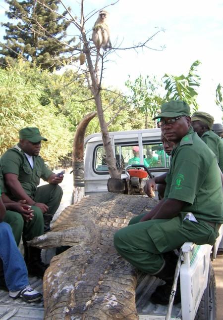 Los del SEPRONA, con una pellica de cocodrilo , colmillos de elefante y un mono pingao en el arbol