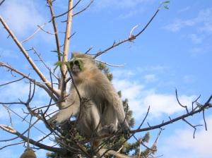 El famoso mono Mariano, saludando al publico...