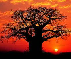 imbundeiro baoba